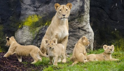Mother Adia, 2 male and 2 female cubs