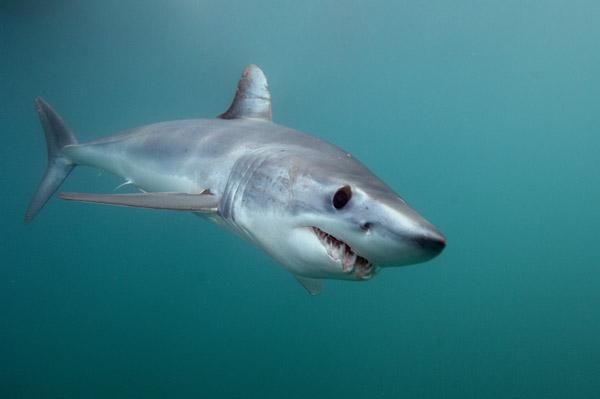 Shortfin Mako Shark 053