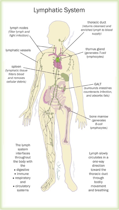 Our Bodys Lymphatic System Learners Online